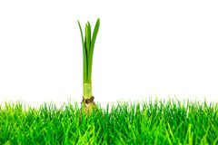 Young narcissus on fresh green grass isolated on white Stock Photos