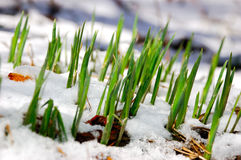 Young narcissus plant out of snow Royalty Free Stock Photography