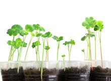 Young nasturtium seedling Stock Image