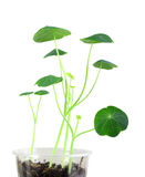 Young nasturtium seedling Royalty Free Stock Photo
