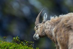 Young natural relaxed male alpine capra ibex capricorn looking a. T green plant stock photos