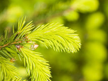 Young needles on branch Norway spruce, Picea abies, with bokeh background, macro, selective focus, shallow DOF Stock Image