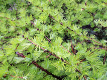 Young needles of larch (Larix) Royalty Free Stock Images