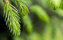 Young needles of spruce, behind a green background stock photo