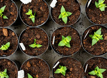 Young nemesia seedlings in flowerpots. Overhead view of young nemesia seedlings in flowerpots with information labels being cultivated at a nursery of Stock Photography