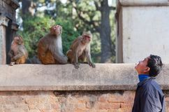 Young Nepalese man and family of monkeys Stock Image
