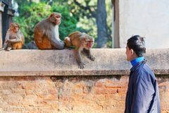 Young Nepalese man teasing monkeys Royalty Free Stock Photos