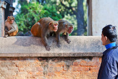 Young Nepalese man teasing monkeys Stock Image