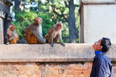Young Nepalese man teasing monkeys Stock Photography