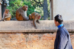 Young Nepalese man teasing monkeys Stock Images