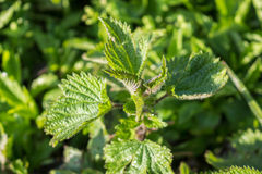 Young nettle in forest Royalty Free Stock Image