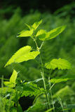Young nettles on the glade Stock Photo