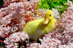 Young new born yellow duck between flowers in the garden. Royalty Free Stock Image