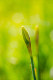 Young new green yellow flower daffodil Narcissus jonquil in sunny day. Royalty Free Stock Photo