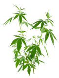 A young new growing cannabis (marijuana) plants Stock Images