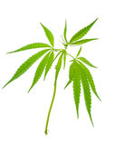 A young new growing cannabis marijuana plants Royalty Free Stock Images