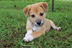 Young New Guinea Singing Dog Puppy. A cute brown New Guinea Singing Dog mix puppy with white paws looks forward curiously stock photo