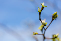 Young new leaves woke up after winter in spring time cloe up sho Royalty Free Stock Images