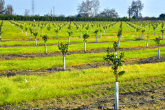 Young new planted orange trees in California Stock Photo