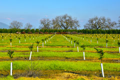 Young new planted orange trees in California Stock Photos
