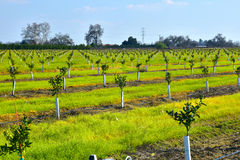 Young new planted orange trees in California Stock Images