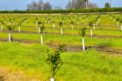 Young new planted orange trees in California Stock Image