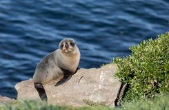 Young New Zealand fur seal Arctocephalus forsteri on a rock with ocean in background in the wild. Wild young New Zealand fur seal Arctocephalus forsteri on a stock photo