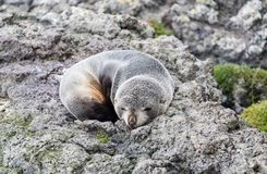Young New Zealand fur seal Arctocephalus forsteri on a rock in the wild. Young New Zealand fur seal Arctocephalus forsteri sleeping on a rock in the wild royalty free stock images