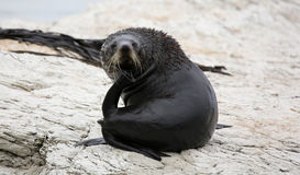 Young New Zealand Fur Seal (New Zealand) Royalty Free Stock Photo