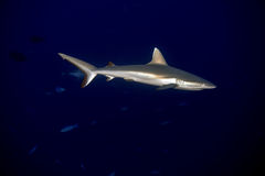 Young newborn Grey shark ready to attack underwater in the blue Stock Photos