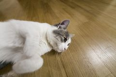 Young nice small white and gray domestic cat kitten laying relaxed on wooden floor indoors. Keeping animal pet at home, concept.  stock images