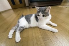 Young nice small white and gray domestic cat kitten laying relaxed on wooden floor indoors. Keeping animal pet at home, concept.  royalty free stock images