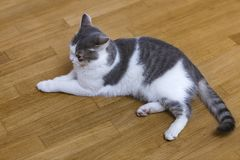 Young nice small white and gray domestic cat kitten laying relaxed on wooden floor indoors. Keeping animal pet at home, concept.  royalty free stock photography