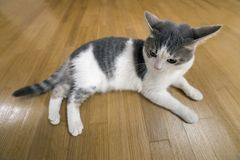 Young nice small white and gray domestic cat kitten laying relaxed on wooden floor indoors. Keeping animal pet at home, concept.  royalty free stock image
