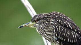 Young Night heron stock video footage