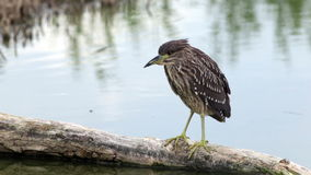 Young Night heron stock video