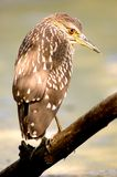 Young night heron Royalty Free Stock Image