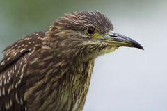Young night heron Stock Images