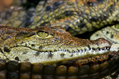 Young Nile Crocodile. Head closeup Royalty Free Stock Photo