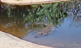 Is it feeding time again. A young Nile crocodile swims closer at crocworld south coast kzn South Africa royalty free stock photos