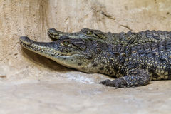 The young Nile crocodiles, Biblical Zoo in Jerusalem Royalty Free Stock Images