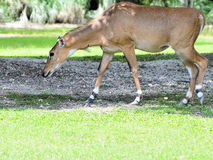 Young Nilgai Antelope Stock Photography