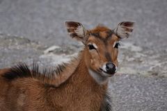 Young Nilgai Antelope Stock Photos