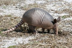 A Young Nine Banded Armadillo Royalty Free Stock Photos