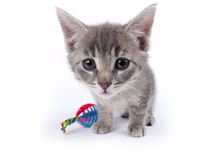 Young nine weeks old fluffy grey striped kitten with a toy Royalty Free Stock Photo