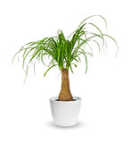 Young Nolina a potted plant  over white Royalty Free Stock Photos