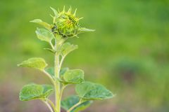 Young non unfolded sunflower on the field, maturation Royalty Free Stock Photography