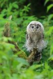 Young nordic tawny owl Royalty Free Stock Image