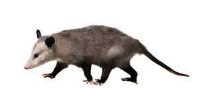 Young North American opossum Didelphis virginiana goes on a wh. Ite background. Isolated royalty free stock photos