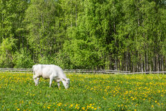 Young  Northern Finncattle bull in a meadow Royalty Free Stock Images
